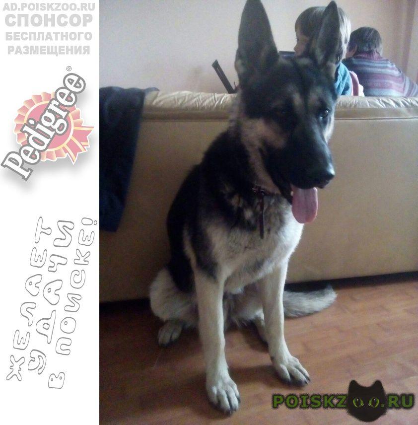 Найдена собака кобель вео г.Новосибирск