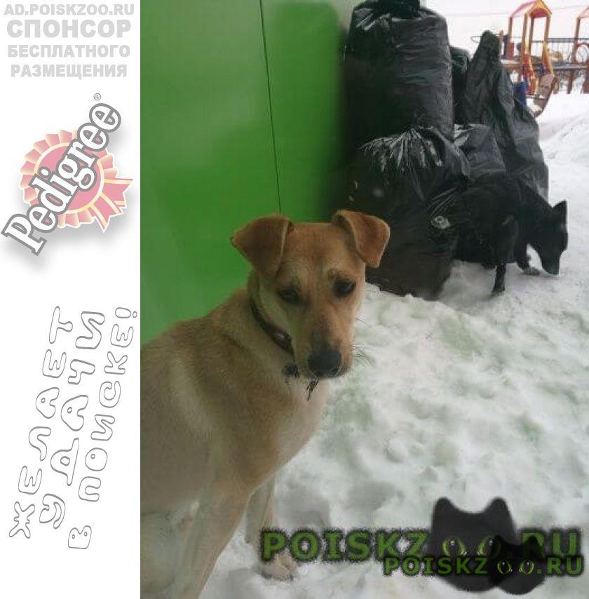 Найдена собака кобель в ошейнике г.Видное