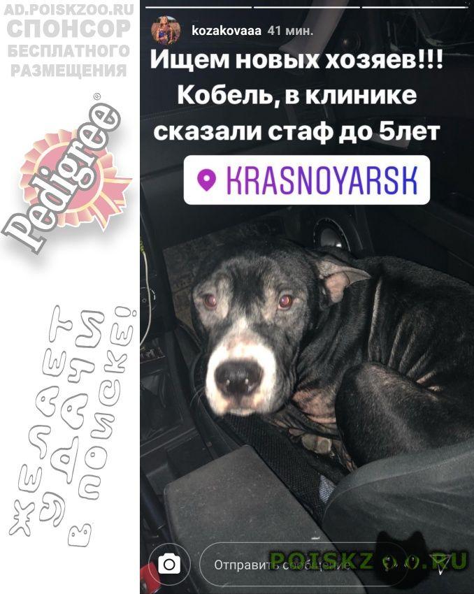 Найдена собака кобель стафор лет г.Красноярск
