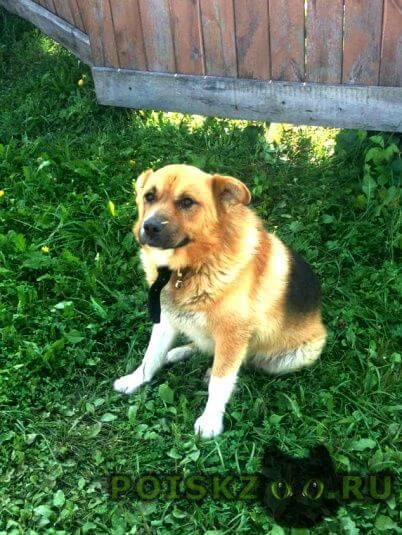Найдена собака кобель в дачном поселке рассвет г.Куровское