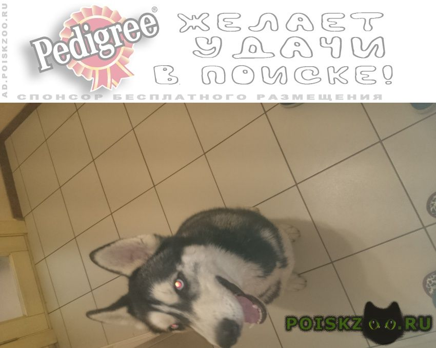 Найдена собака кобель пес хаски г.Майкоп (Адыгея)