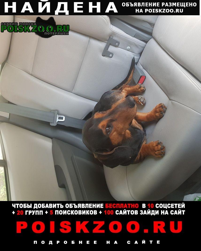 Найдена собака кобель такса Подольск