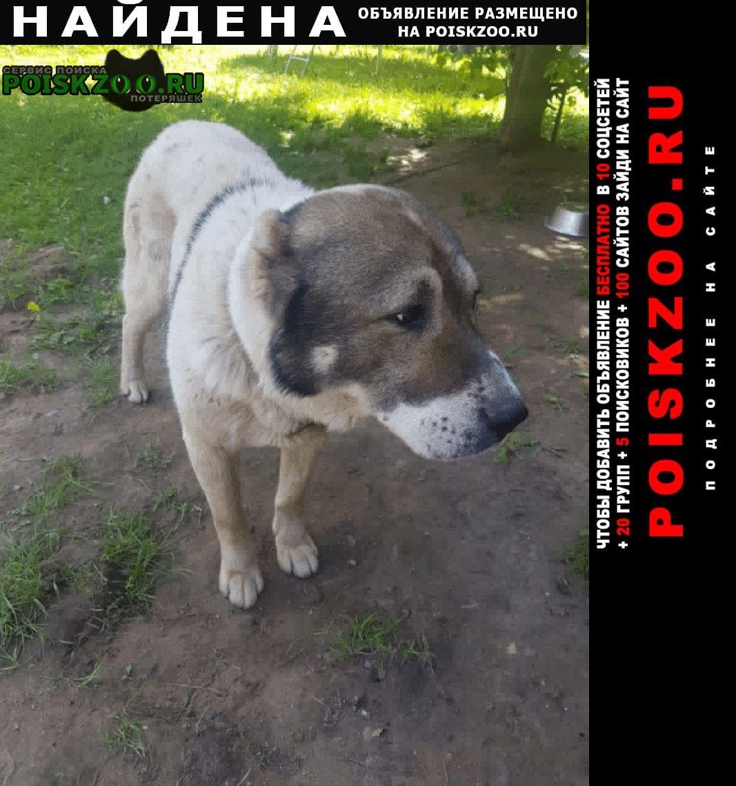 Найдена собака кобель потеряшка- щенок алабая Икша
