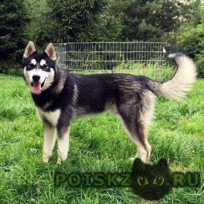 Найдена собака кобель хаски черно-белый с карими г.Королев