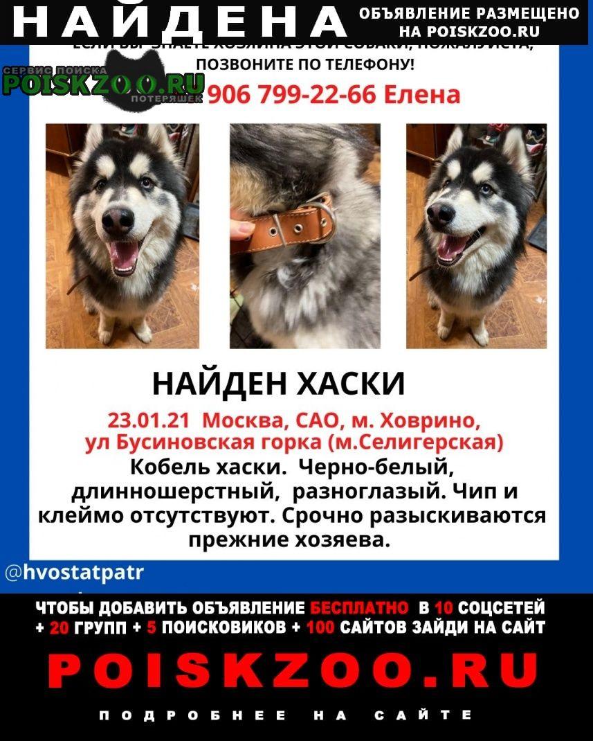 Найдена собака кобель хаски Москва