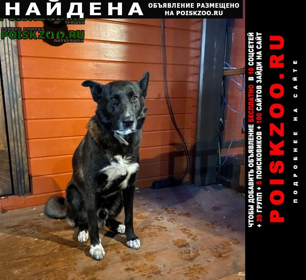 Найдена собака кобель большая черная с белой грудкой и лапами Икша