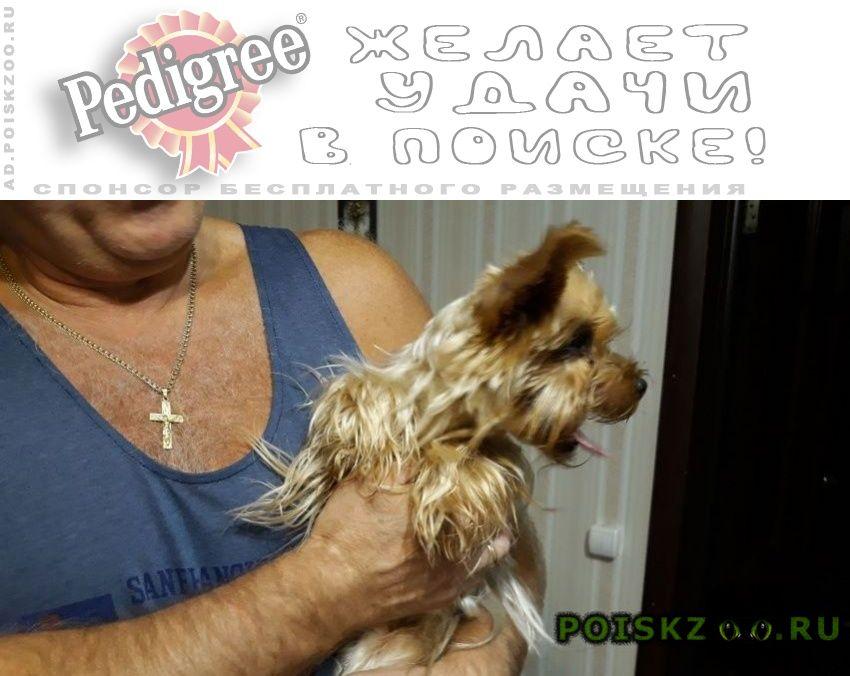 Найдена собака йорк г.Волоколамск