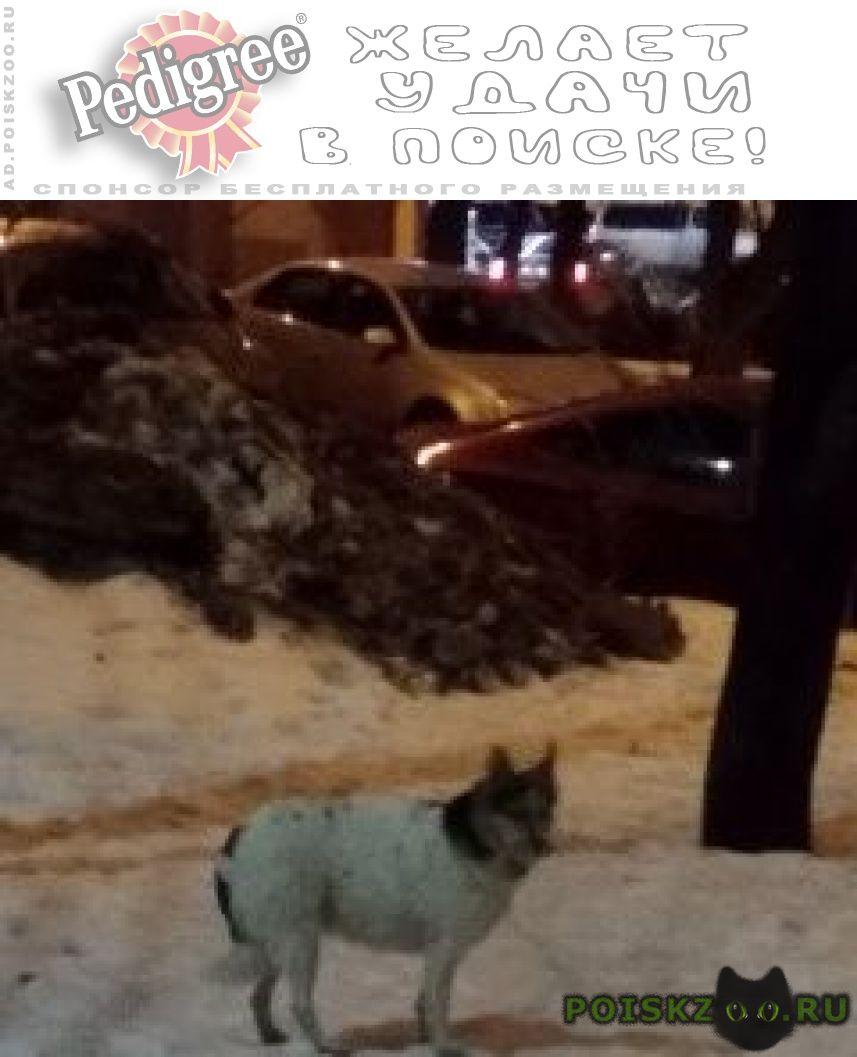 Найдена собака петровско разумовская г.Москва