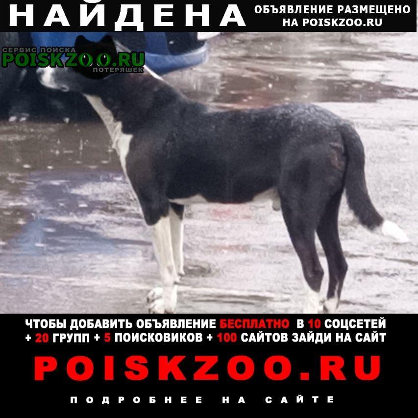 Найдена собака кобель чёрно-белый с висячими ушами Москва