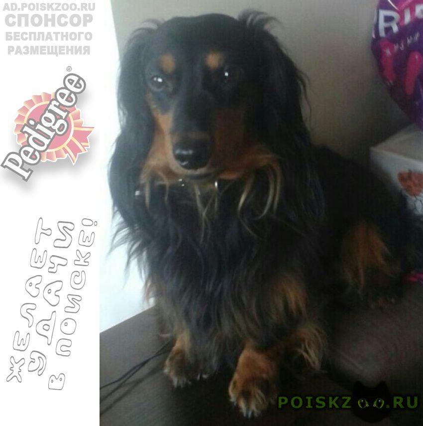 Найдена собака кобель длинношерстая такса г.Москва