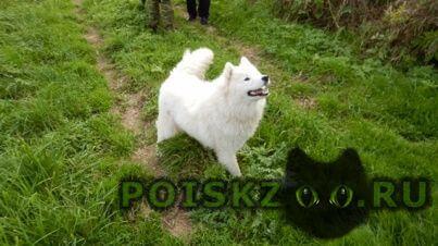 Найдена собака самоедская лайка г.Вязьма