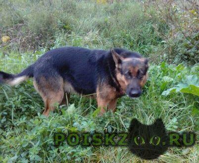 Найдена собака молодая немецкая овчарка, р-н икша г.Дмитров