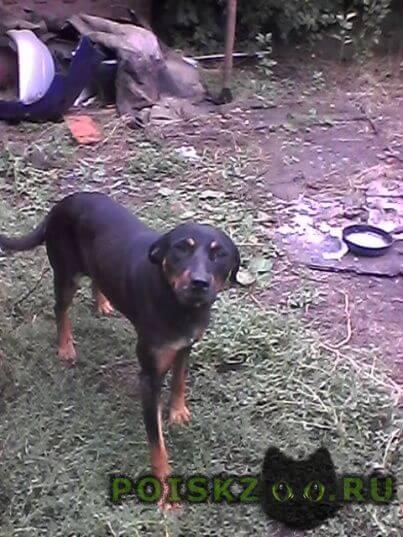 Найдена собака смесь ротвейлера с доберманом(может..) г.Ростов-на-Дону