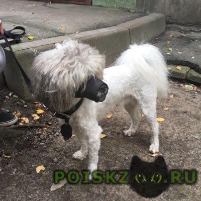 Найдена собака кобель пудель, кабель г.Санкт-Петербург