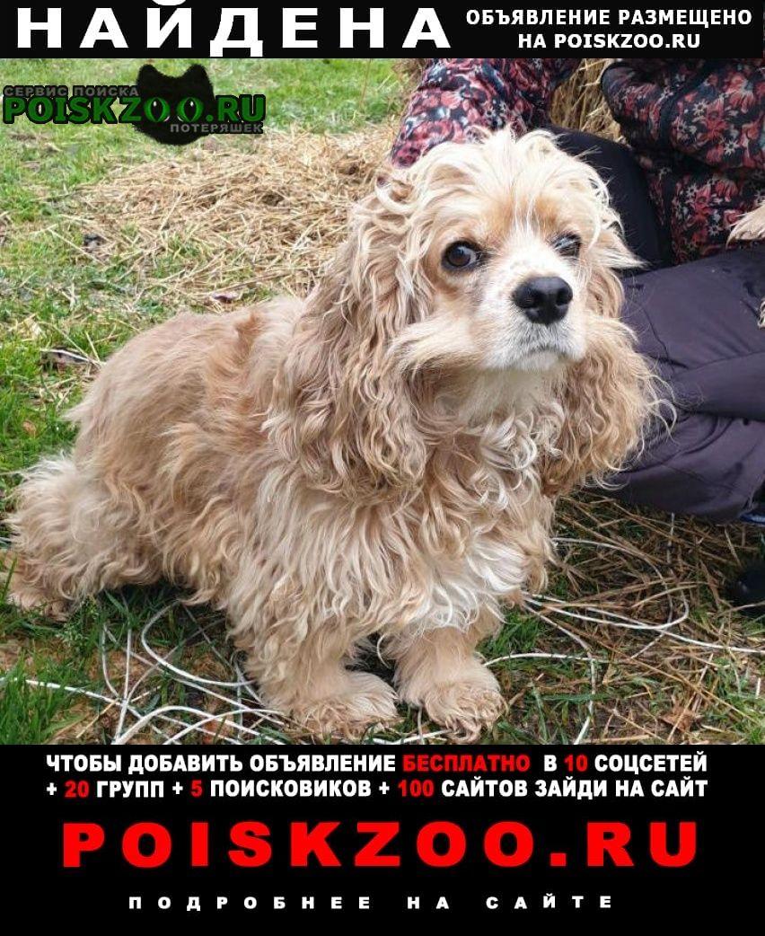 Найдена собака кокер спаниель в ом округе Волоколамск