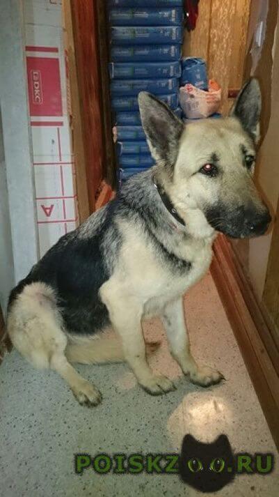 Найдена собака сука вео г.Красногорск