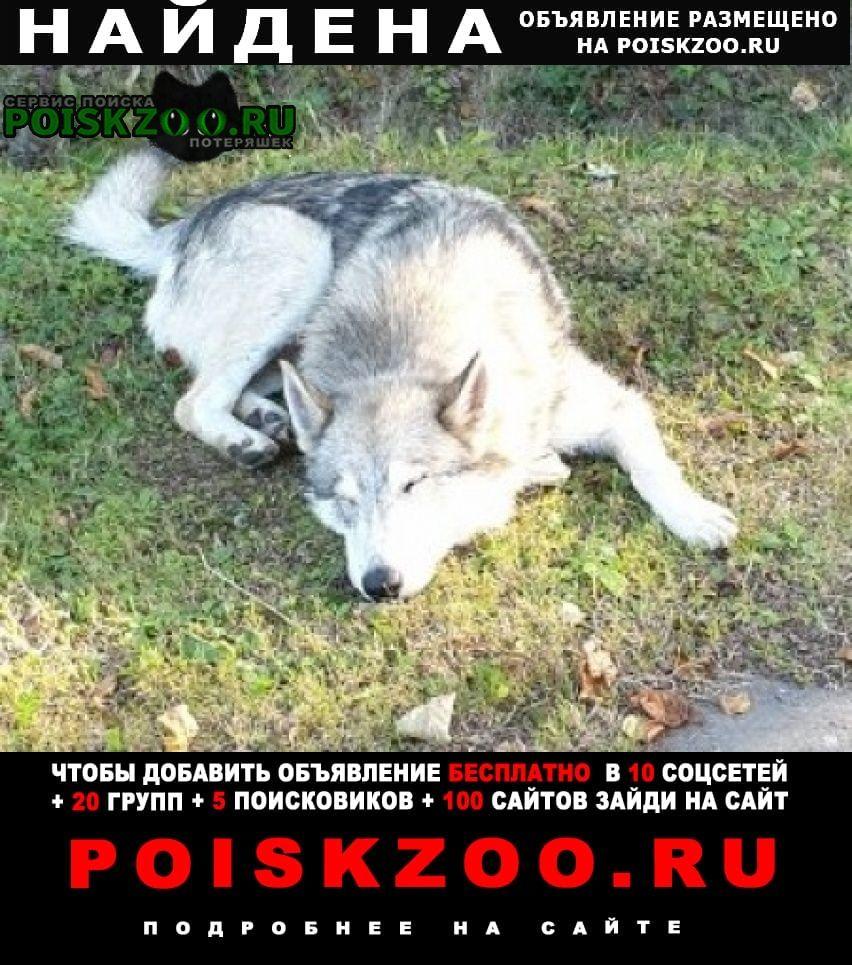 Найдена собака кобель мальчик и девочка хаски или лайки Троицк