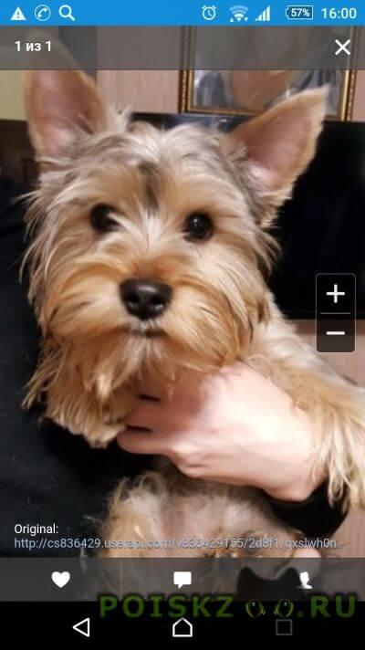 Найдена собака кобель йоркширский терьер г.Ялта