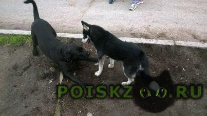 Найдена собака молодая лайка г.Мурманск