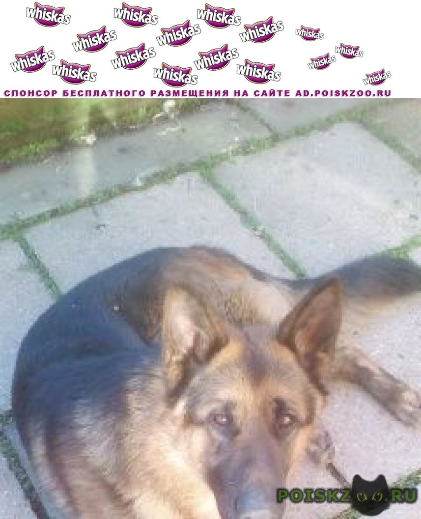 Найдена собака кобель немецкая овчарка г.Майкоп (Адыгея)