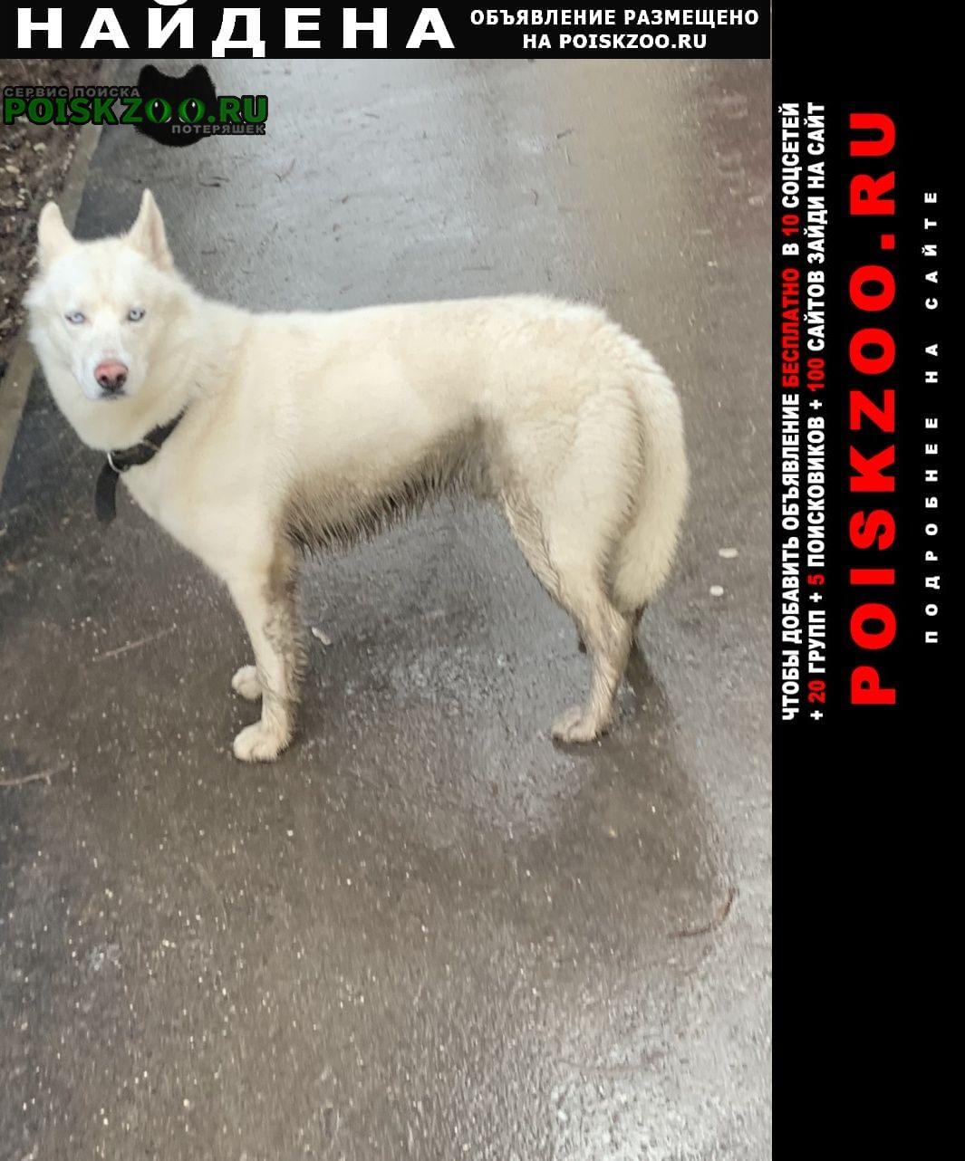 Найдена собака хаски, мальчик Севастополь