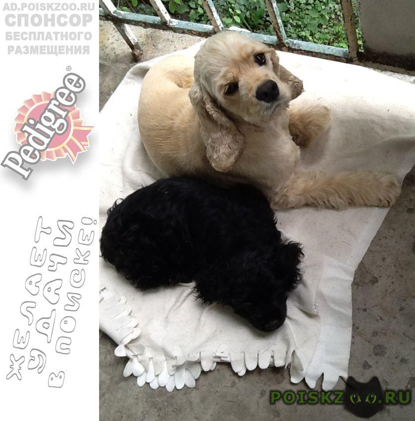 Найдена собака кокер спаниель со щенком г.Новосибирск