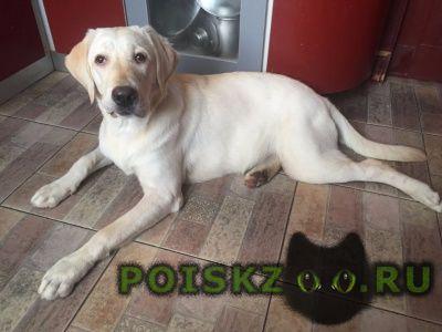 Найдена собака палевая девочка лабрадора г.Москва