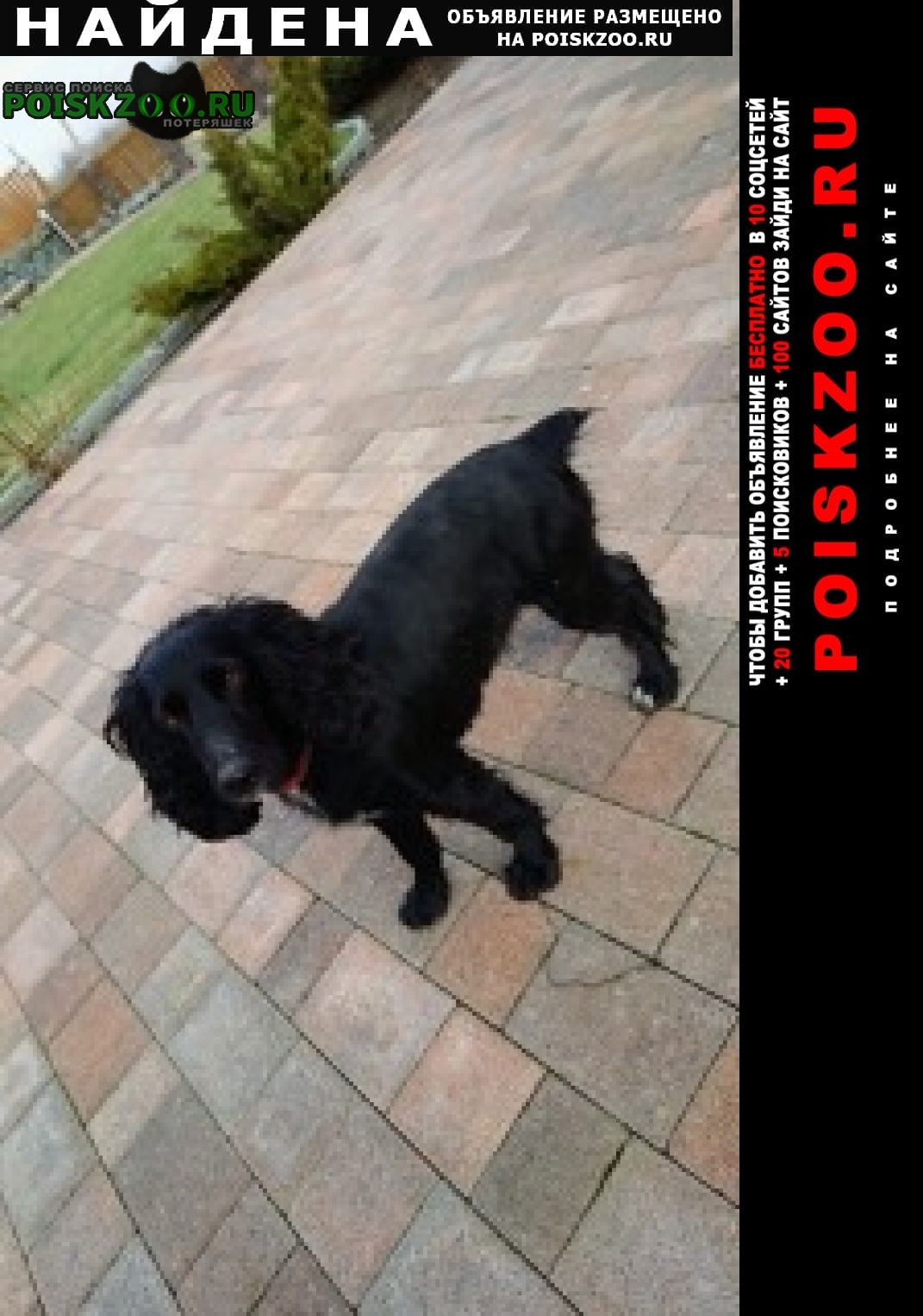 Найдена собака спаниель. Батайск