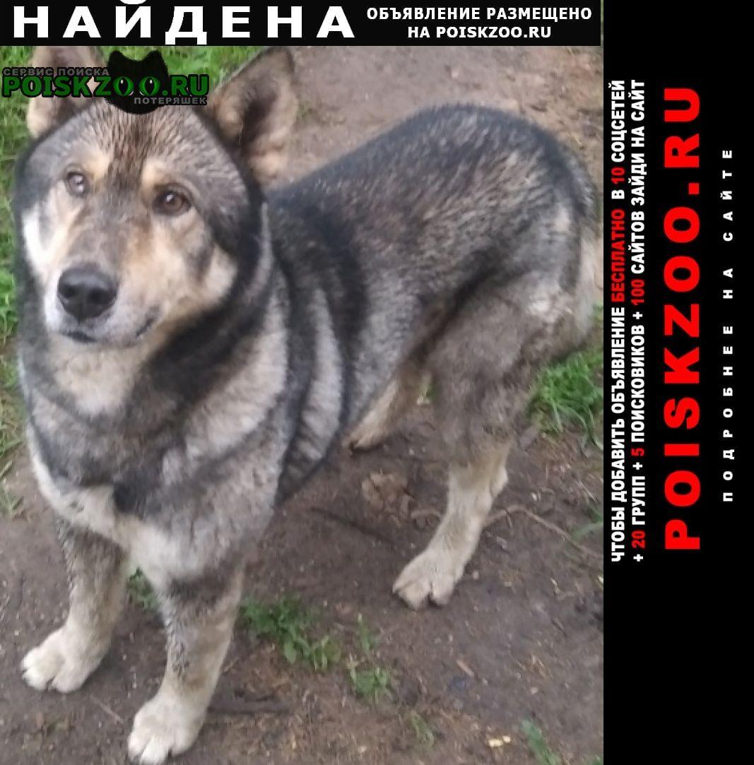 Найдена собака кобель похожа на волка-овчарку Солнечногорск