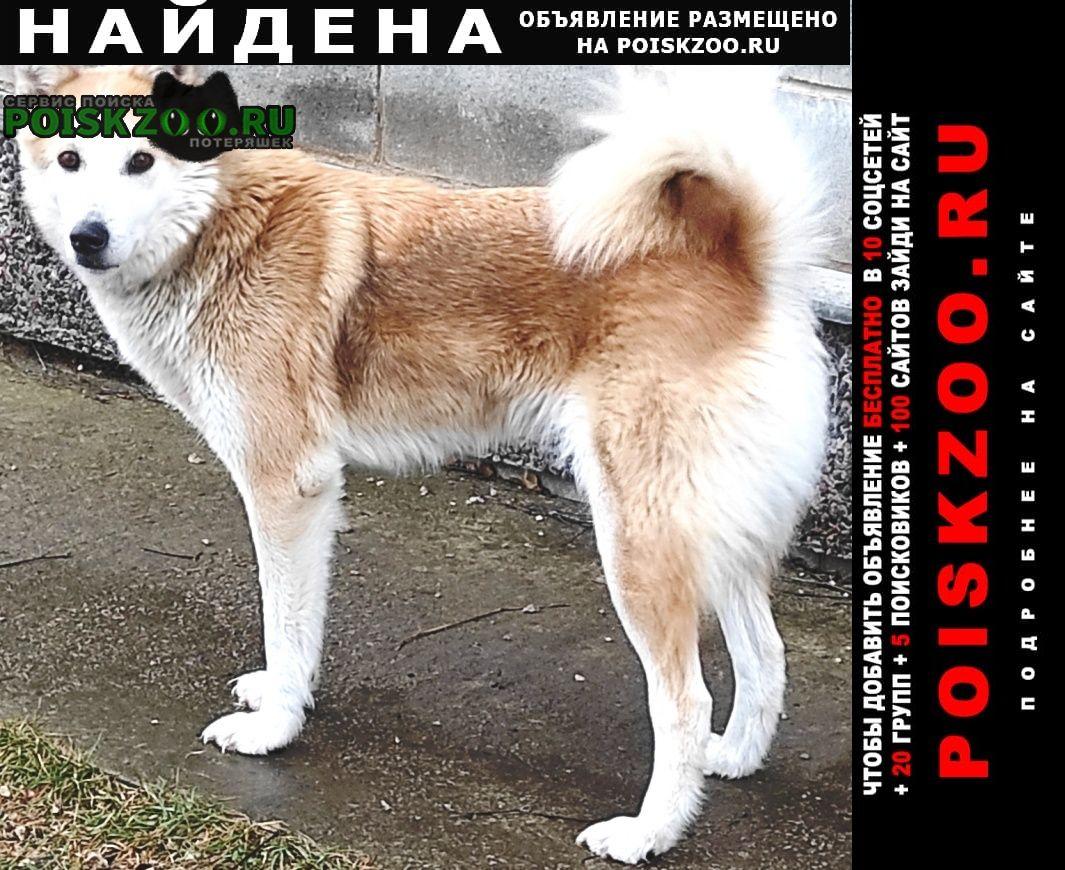 Найдена собака акита-ину Ясногорск
