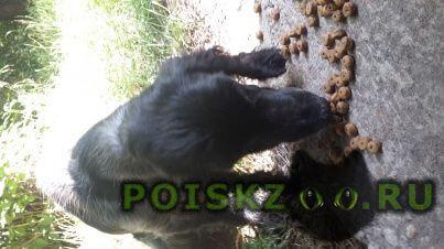 Найдена собака спаниель г.Ангарск