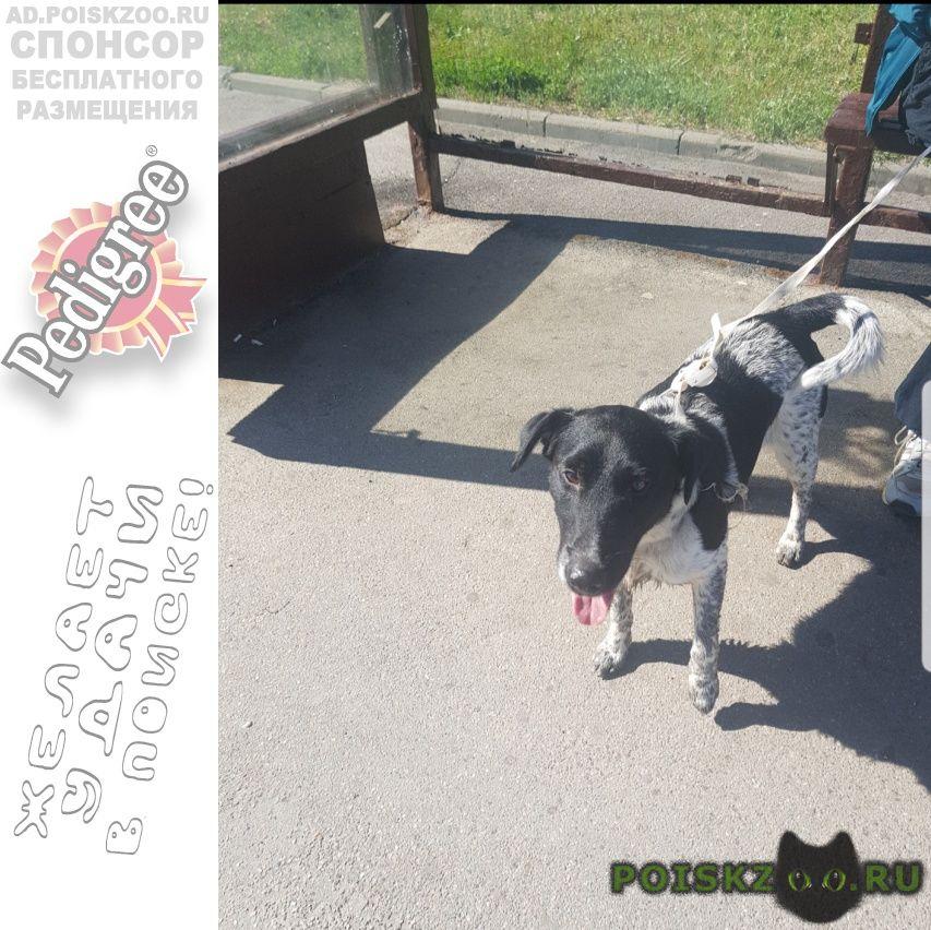Найдена собака кобель метис джек рассела г.Щербинка