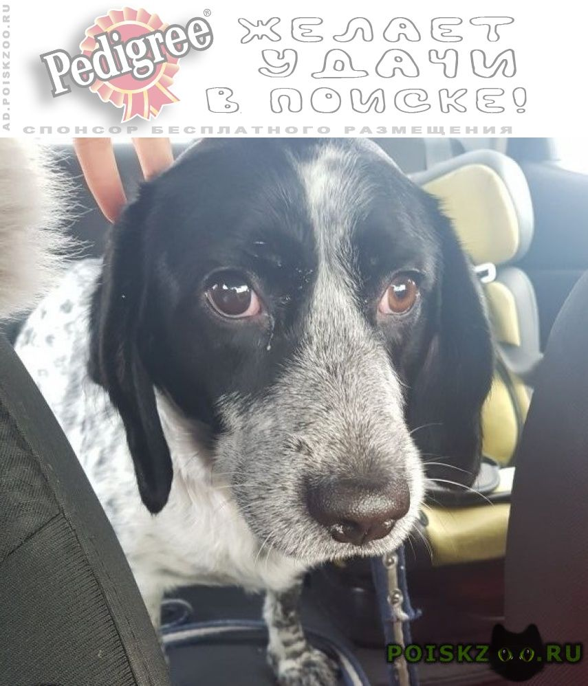 Найдена собака кобель спаниель г.Красноярск