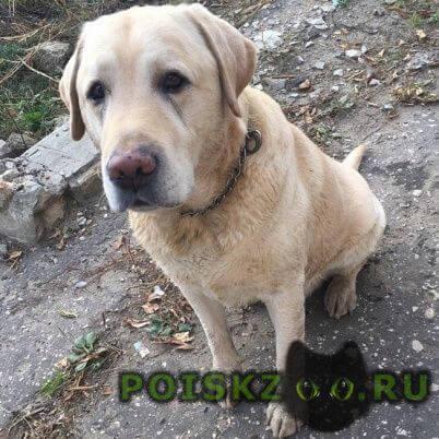 Найдена собака кобель лабрадор г.Дзержинск
