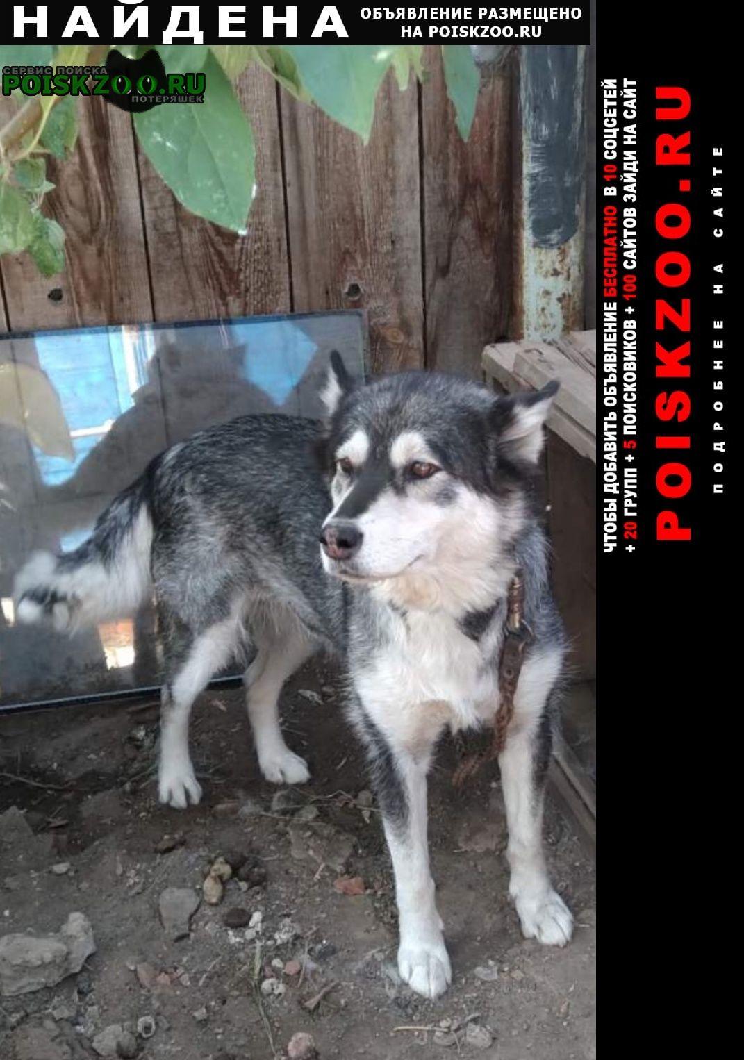 Найдена собака сибирская хаски Оренбург