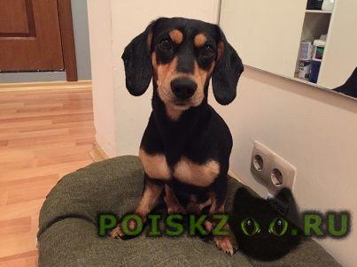 Найдена собака кобель метис таксы г.Москва
