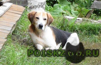 Найдена собака кобель пес, похож на русскую гончую. г.Дальнее Константиново