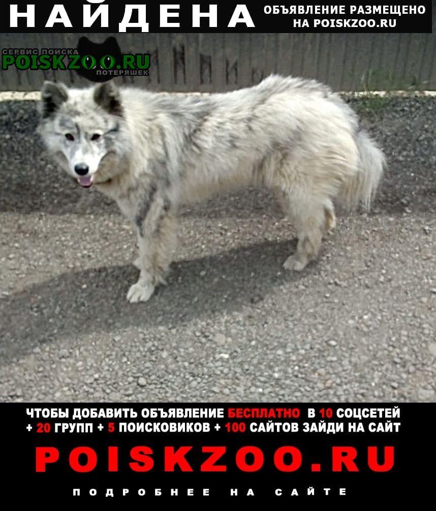 Найдена собака метис хаски и маламута ( окрас волчий) Люберцы