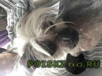 Найдена собака китайская хохлатая г.Котельники