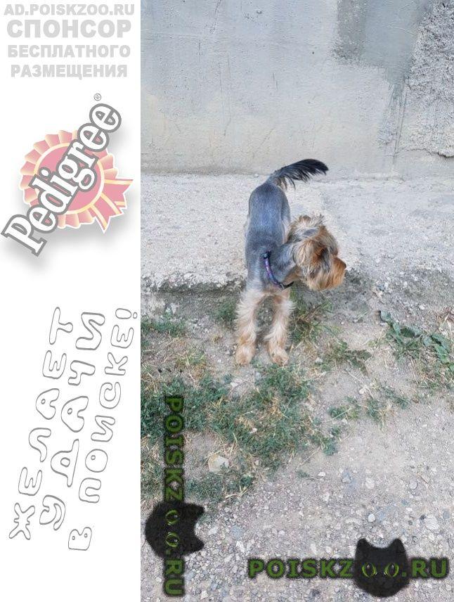 Найдена собака йорк г.Симферополь