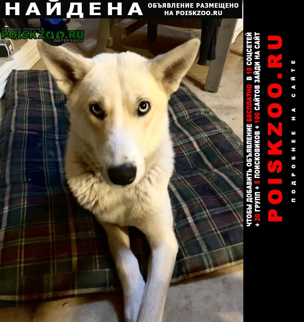 Найдена собака молодая сука, метис лайки Заокский