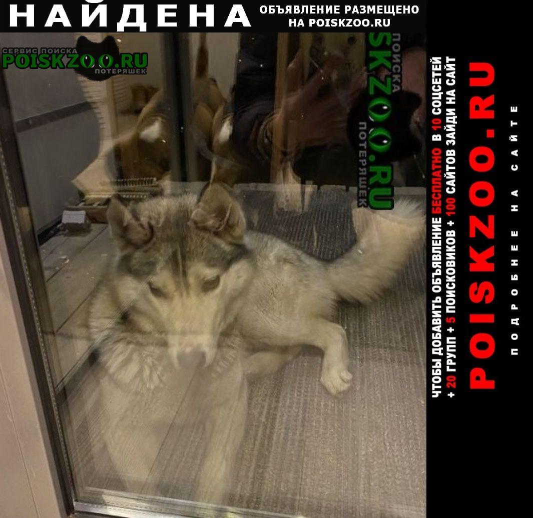 Найдена собака деревня манушкино г.Всеволожск
