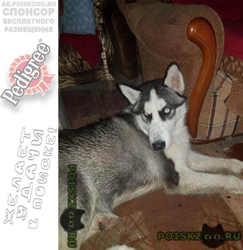 Найдена собака хаски серая г.Анапа