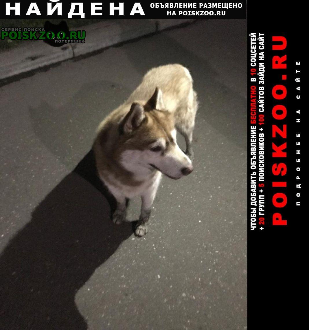 Найдена собака рыжий хаски Балашиха