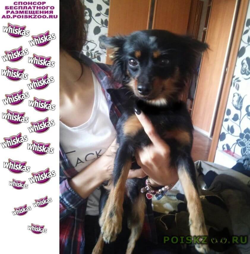 Найдена собака русский той юный ленинец г.Новосибирск