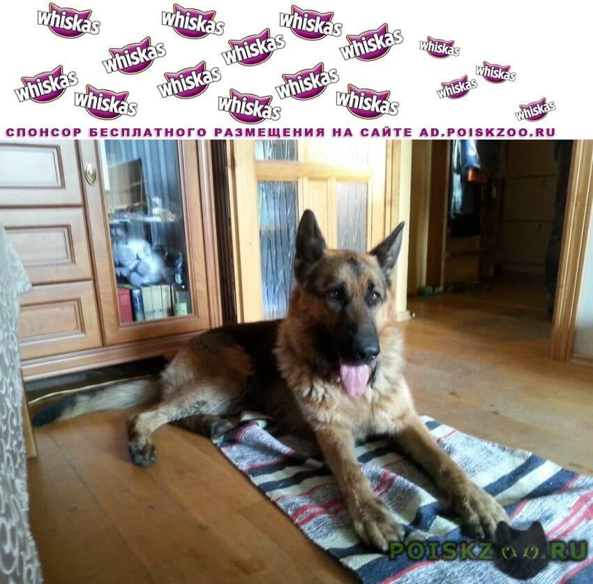 Найдена собака кобель г.Калининград (Кенигсберг)