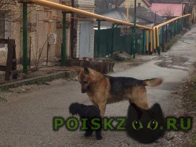 Найдена собака кобель немецкая овчарка г.Новороссийск