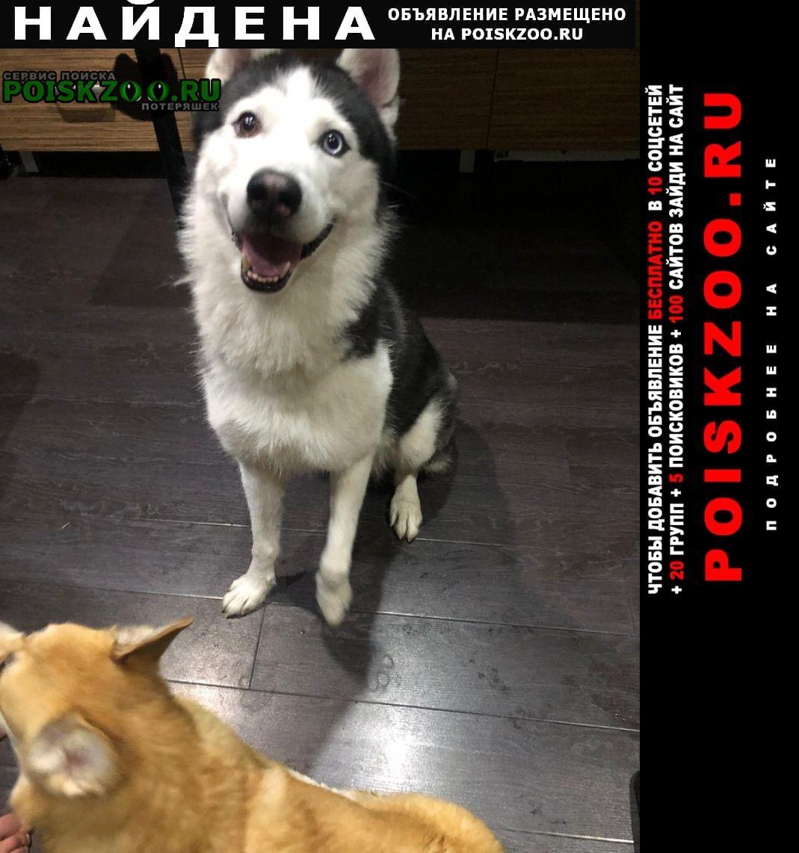 Санкт-Петербург Найдена собака хаски. кобель