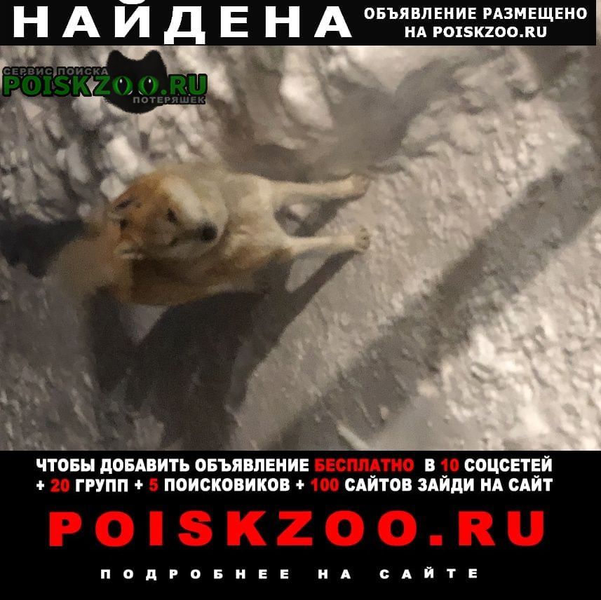 Найдена собака лайка, рыжий кобель Бессоновка