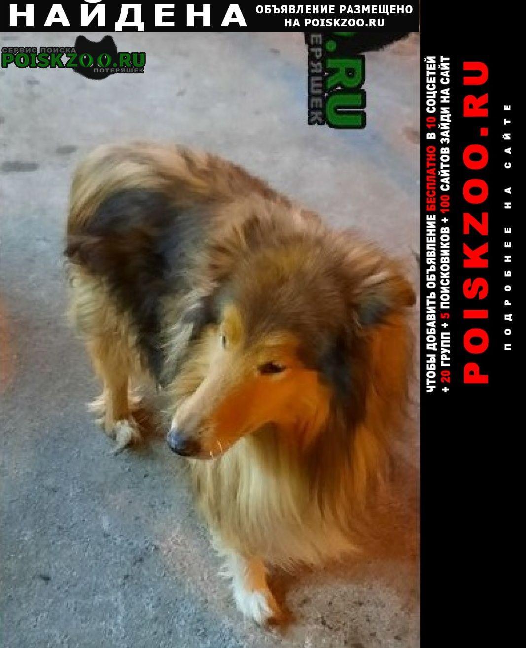 Найдена собака колли без поводка Санкт-Петербург